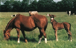 ISTABRAQ as a foal with his dam, Betty's Secret (Secretariat).