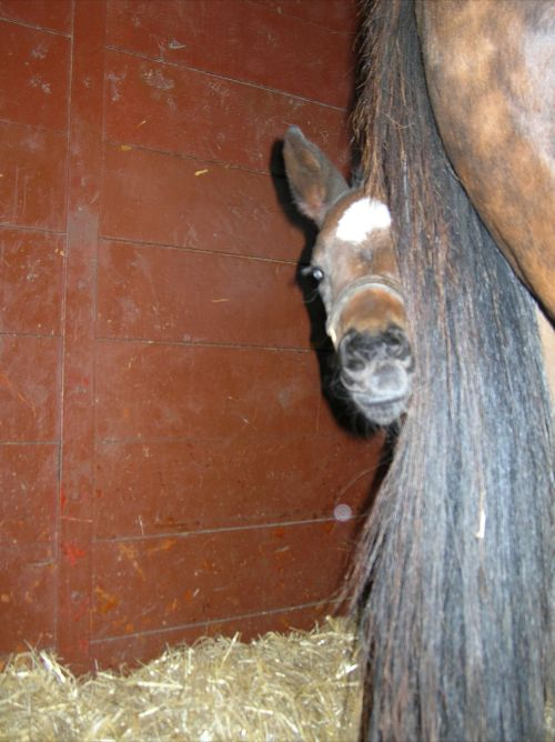 Diva peeks out at the camera from behind her dam. Sired by Gone West, Diva has produced two foals of her own to date. Her latest is Tizgone, by Tiznow, born in 2010.