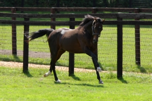 The magnificent Deep Impact, working out in his paddock.
