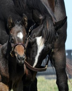 Does Zenyatta know something about her first born's future? The colt, by leading sire Bernardini, is definitely one to watch in 2015!