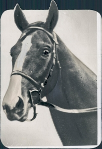 Gallant Fox, shown here in a rare portrait without the famous Belair stable blinkers! Photo and copyright, The Chicago Tribune.