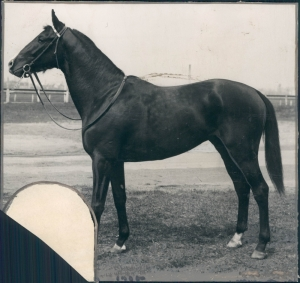 Gallant Fox was more interested in everything going on around him than he was in racing. Although Sunny Jim never doubted his courage, intelligence or ability, it took some doing to train him for competition.