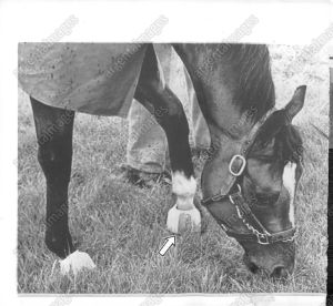 Few remember that NORTHERN DANCER ran most of his life with a debilitating hoof problem. Here, the arrow indicates the troublesome hoof as the colt grazes, circa 1964.