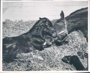 Minutes after his birth, baby IRON LEIGE and his dam,