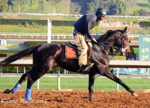 COZMIC ONE, the first born out of champion Zenyatta, shown working out at Santa Anita under his regular exercise rider, Kevlyn            . Photo and copyright, Jane Wade.
