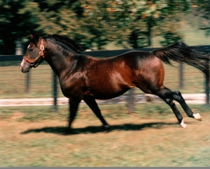 DANZIG pictured here at Claiborne Farm in Kentucky where he stood for the whole of his career at stud.