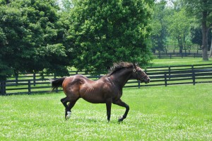 A coltish A.P. INDY turned out in his paddock. Copyrighted photo. Used by permission of Liz Read.