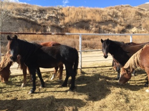 MAYA LITTLEBEAR (foreground) and FELICITAS WITNESS (bay mare in background, looking into the camera) shown together @ the BLM in Canon City, Colorado. They arrived at Black Hills Wild Horse Sanctuary on March 10, 2016.