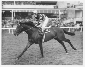 SIR IVOR ridden by Lester Piggott goes down to the start.