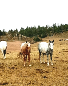 A few members of the herd and their distinctive coats. The Spanish mustang is slimmer than the American mustang, with a confirmation it has inherited from its Spanish and Portugese ancestors. Photo and copyright: THE VAULT