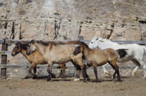 April 2016: Some of the wild horses in Maya and Tassy's herd.