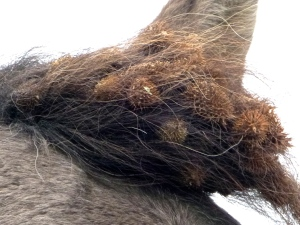 A crown of burrs adorns the forelock of one of the Spanish herd. Photo and copyright: THE VAULT